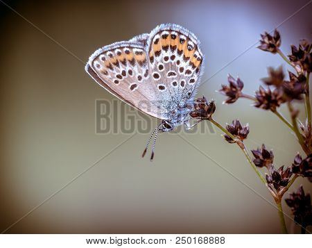 Female Silver-studded blue (Plebejus argus) butterfly resting and sleeping on Sharp-flowered Rush (Juncus acutiflorus) in natural habitat in vintage colors stock photo