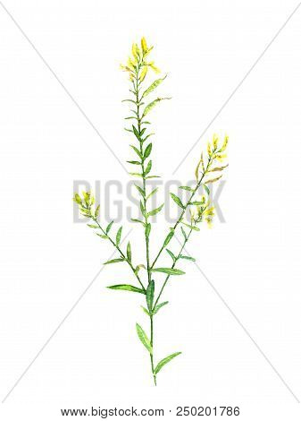 watercolor drawing flower of Scotch broom, painted botanical illustration, hand drawn floral illustration stock photo
