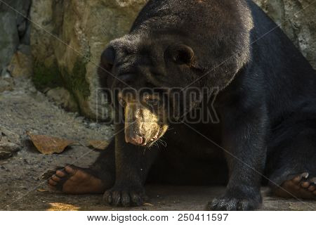 Malayan Sun Bear Is a small bear Black under the neck is a yellow U-shaped. stock photo