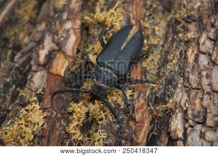 A large black beetle of barbel (Prionus coriarius) sits on the bark of an old tree. stock photo