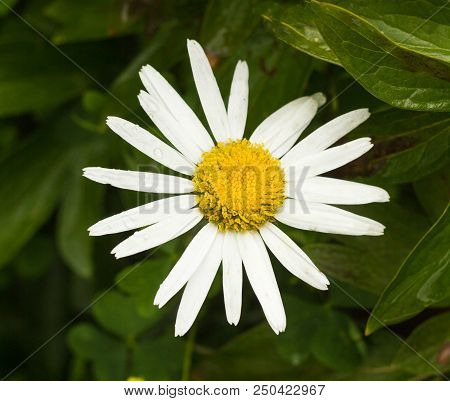 Large chamomile flower, close-up, marguerite and floral stock photo