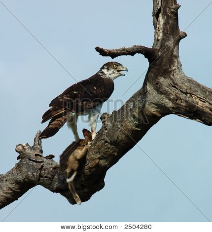 Martial Eagle with its pray a Cape Hare. stock photo