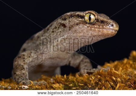 The Canterbury gecko (Woodworthia brunneus) is an lizard species endemic to New Zealand. stock photo