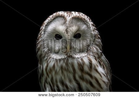 Ural owl (Strix uralensis). Nocturnal owl on black background stock photo