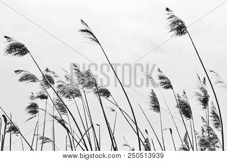 Dry panicles canes on a cloudy day in the sky. The sharpness of the Central spike. Toned image. stock photo