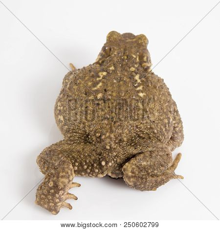 Common toad or European toad, Bufo, in front of white background. stock photo