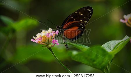 Doris Longtail Butterfly, heliconius doris, sitting on a flower and sucking pollen stock photo