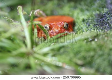 Red frog (tomato frog) with big yellow eyes sits in the green grass stock photo