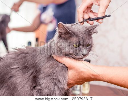 Haircut a  furry cat. Haircut in the beauty salon. Professional hairdressing services stock photo