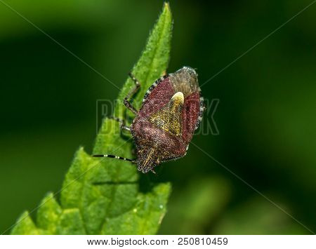 A brown bug sits on a green plant leaf. Garden insect pest. Macro flat bug with long antennae. stock photo