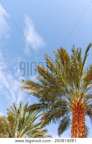 Plantation of Phoenix dactylifera, commonly known asdateordate palm trees in Arava and Negev desert, Israel, cultivation of sweet delicious Medjool date fruits stock photo