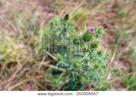 Closeup from above of a pink-purple blooming spear thistle or Cirsium vulgare growing in the wild nature in the Netherlands. It is a a hot and sunny day in the Dutch summer season. stock photo