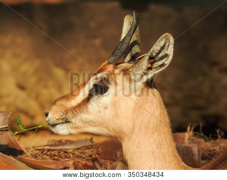 A cute Dorcas gazelle munches on some grass stock photo
