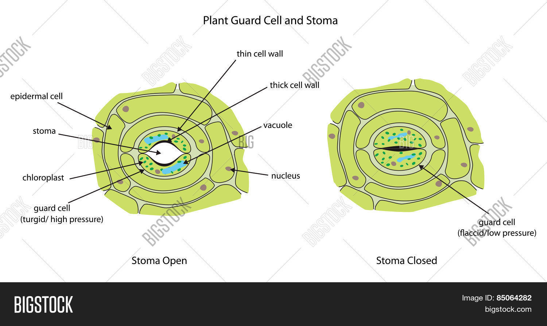 Stomata Under Microscope Labeled - Micropedia