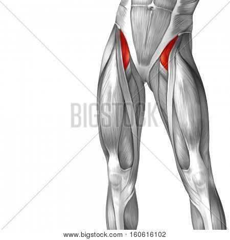 Concept or conceptual 3D illustration human upper leg anatomy or anatomical and muscle isolated on white background stock photo