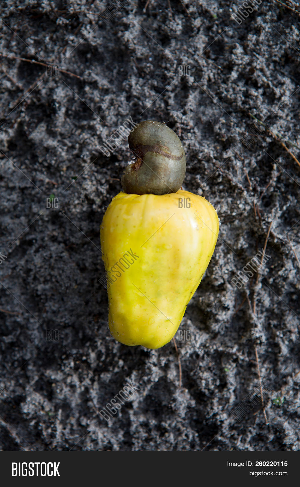 raw cashew nut, Anacardium occidentale, on sand floor