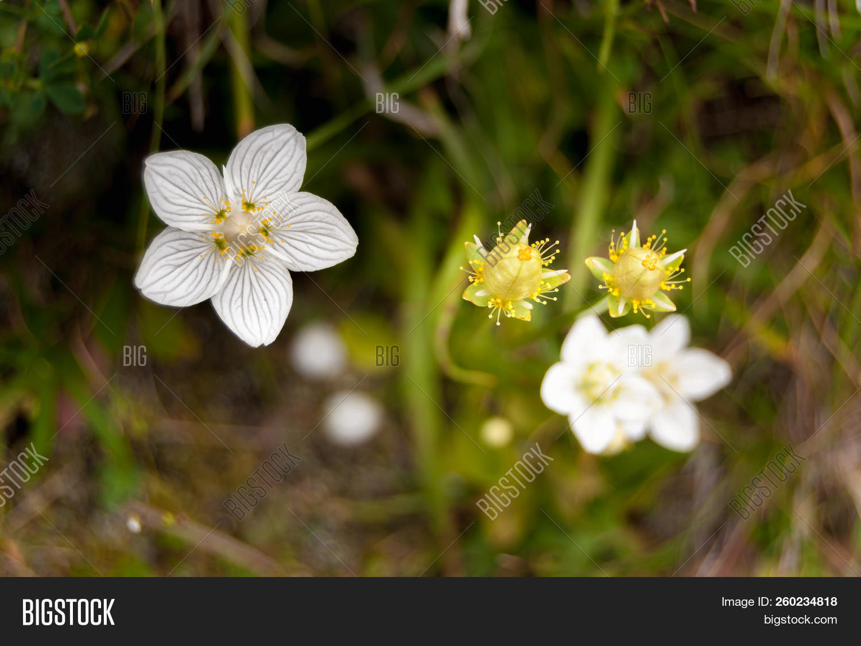 Amazing White Flowers Belozor Marsh Parnassia Palustris Photo Stock