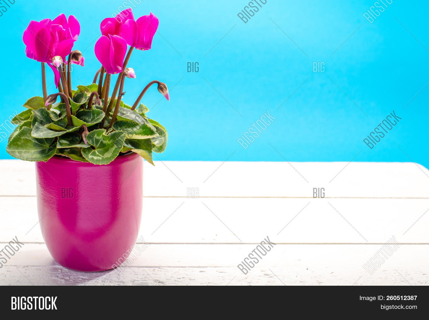 One Pink Cyclamen Plant With Flowers In Pink Pot On Trendy Blue