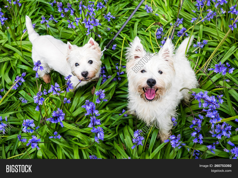 Dogs In Spring Flowers West Highland Terrier Westies In