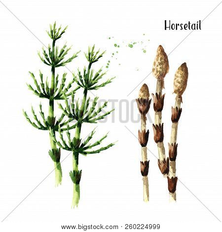 Horsetail plant. Watercolor hand drawn illustration, isolated on white background stock photo