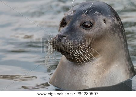Close-up portrait of Harbor or common seal (Phoca vitulina) in the water. Cute marine animal with funny face and big black eyes. stock photo