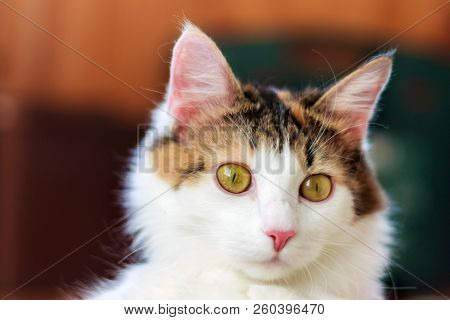 Portrait of a Beautiful Calico Cat With Big Yellow Eyes stock photo