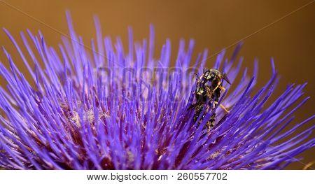 Three wasps in simultaneous mating inside a wild artichoke flower stock photo