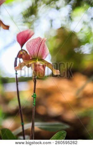 Flowers: Lady's slipper, lady slipper or slipper orchid Paphiopedilum, Paphiopedilum Charleswortii. The slipper-shaped lip of flower serves as a trap for pollinating insects to fertilize the flower stock photo