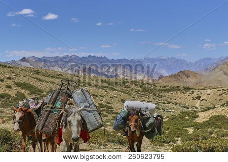 Horses and mules carrying heavy goods in Himalaya mountains, Markha Valley, Ladakh, India. stock photo