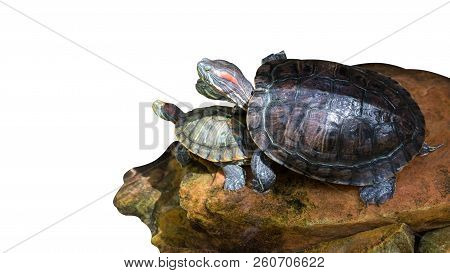 turtle on a white background. turtle isolated . stock photo