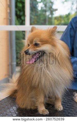 Smiling Pomeranian German Spitz dog is posing on the grooming table. Vertically. stock photo