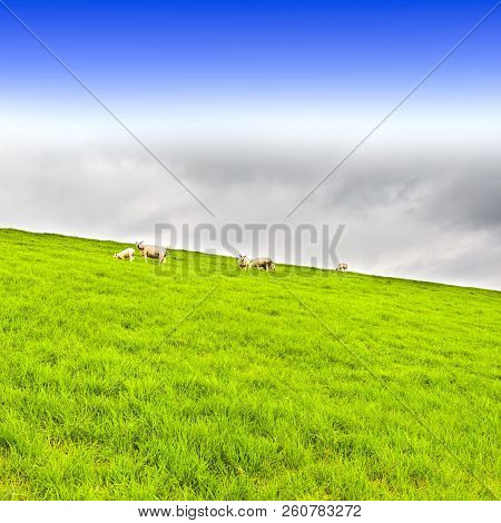Sheep grazing on protective dam in Holland. High dike, protecting the low lying land with grazing sheep. stock photo