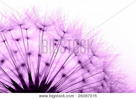 Pissenlit en violet