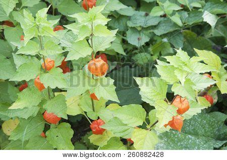 Physalis alkekengi fruiting in an autumn garden, close up stock photo