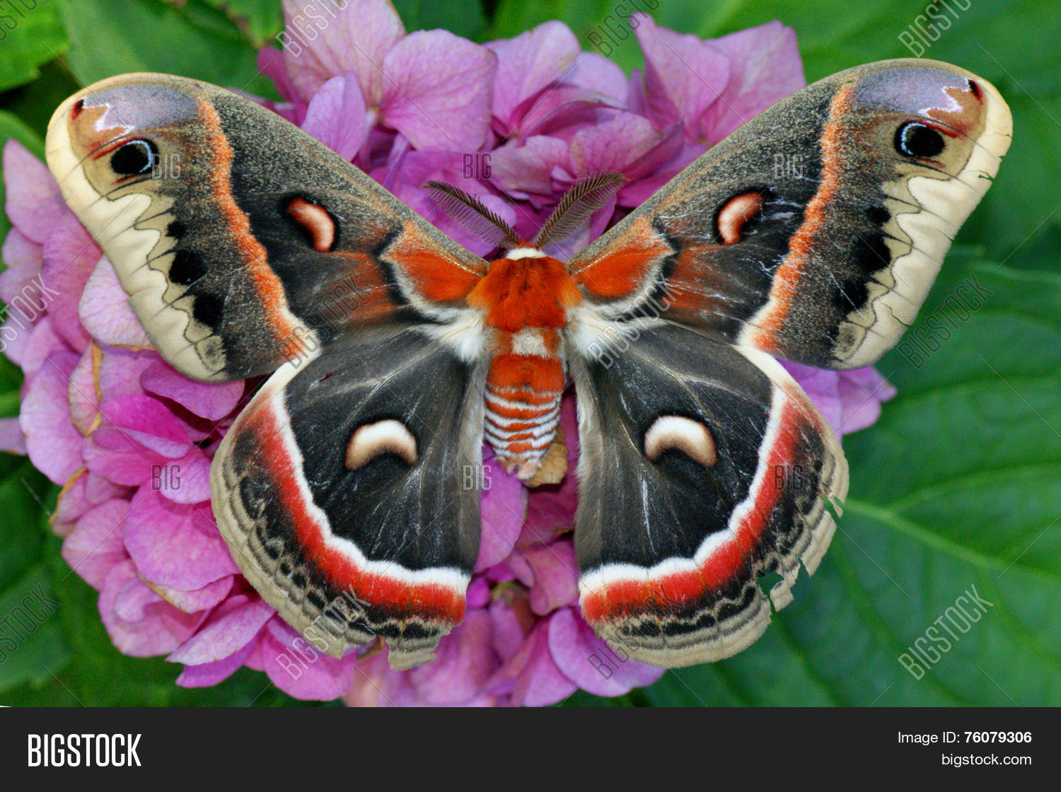 animal,antenna,antennae,atlas,attractive,beautiful,big,bird,blue,butterfly,caterpillar,cecropia,colorful,columbia,cute,exotic,flower,giant,gloveri,green,huge,hyalophora,hydrangea,hylaphora,large,largest,lepidoptera,luna,monarch,monarch butterfly,moth,nature,pink,pink flowers,plant,pretty,purple flower,purple flowers,rare,red,robin,saturnid,saturnidae,saturniid,saturniidae,silk,silkworm,swallowtail,uncommon,white,wild,wild flowers,wildlife,world,yellow,yellow flowers