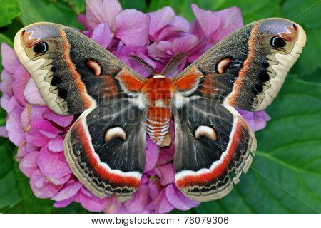The beautiful giant silk moth butterfly called Cecropia Moth, Hyalaphora cecropia, resting on the pink and purple flower of a hydrangea plant - one of the largest butterflies or moths in the world stock photo