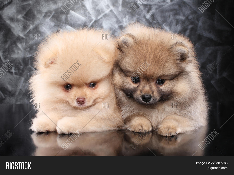 Two Little Pomeranian Spitz Puppies On Dark Gray Background Baby Animal Theme 270587788 Image Stock Photo
