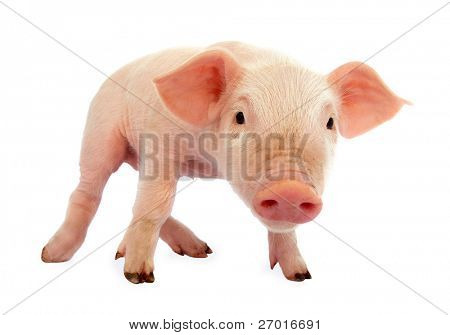 Pig baby piglet stock photo