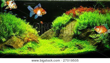 Welcome To Image Bank Bangladesh Beautiful Aquarium Fish