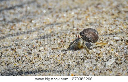 Little crab carries his shell in hot sand along coastal water.  Hot sand does not bother him. stock photo