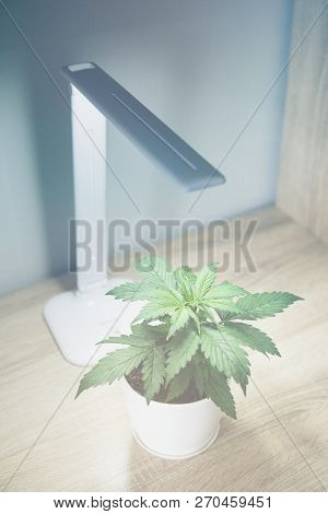 Vegetation period. Growing marijuana at home. Close up. Indoor cultivation concept of growing under artificial light. Vertical insta story. Marijuana leaves. Cannabis Plant Growing. Cannabis Plant Growing. stock photo
