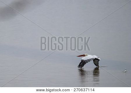 Flying pelican is touching the water surface with its beautiful wings at Kerkini lake in Northern Greece during a cold winter day stock photo