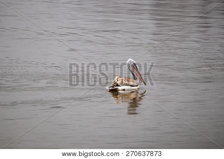 Beautiful pelican bird is slowly swimming away at Kerkini lake in Northern Greece during a cold winter day stock photo