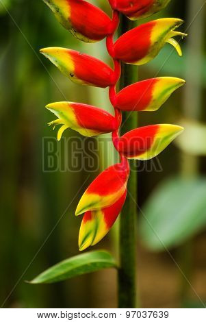 Heliconia rostrata aka red crab claw flower stock photo
