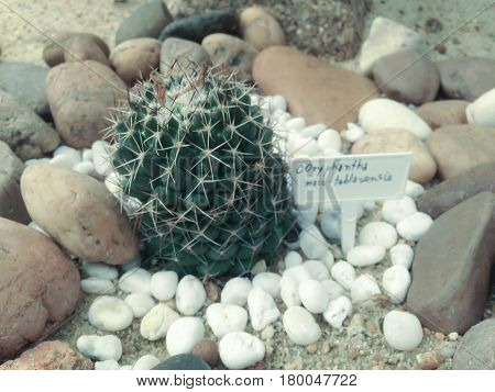 Coryphantha maiz-tablasensis is a slowly depressed-globular cactus often clumping and group-forming with distinct beety root and probably is the easiest Coryphantha to be recognized for its 4-5 radial short radial spines. stock photo