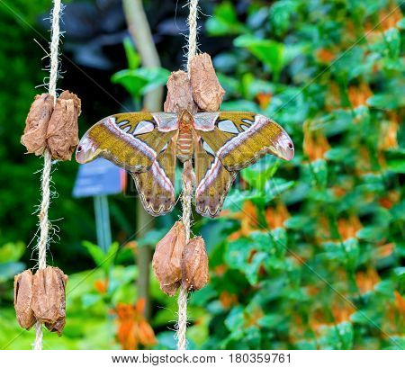 Cobra or Atlas moth is a large saturniid moth found in the tropical and subtropical forests of Southeast Asia, and is common across the Malay archipelago. Atlas moths were often considered the largest stock photo