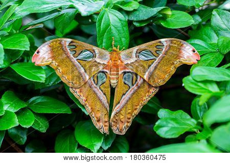 Cobra or Atlas moth is a large saturniid moth found in the tropical and subtropical forests of Southeast Asia, and is common across the Malay archipelago.  stock photo