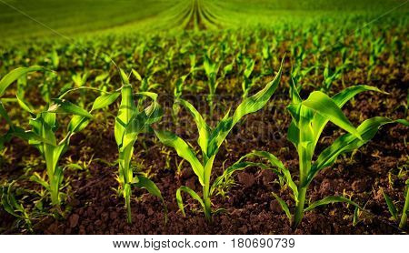 Corn field with young plants on fertile soil a closeup with vibrant green on dark brown stock photo