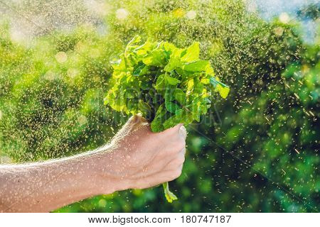 A bunch of mint in hand and a splash of water against the green background. stock photo