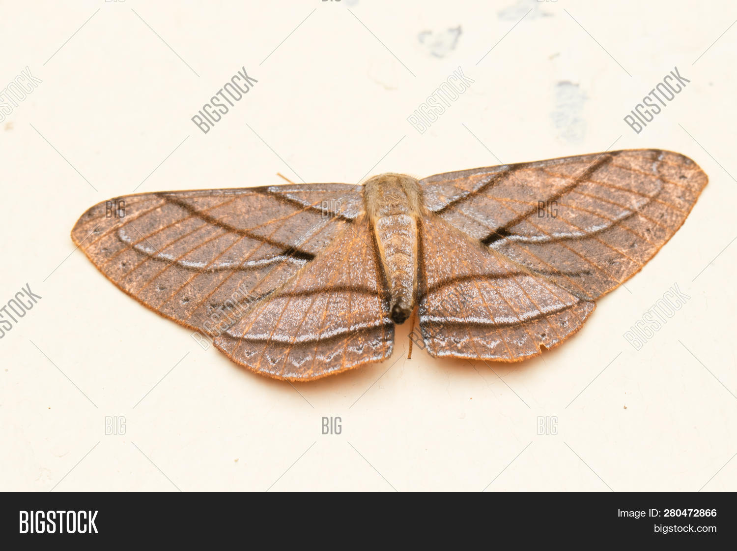 animal,antenna,arthropod,background,black,british,brown,bug,butterfly,close,closeup,cloth,common,emperor,entomology,european,fabric,fauna,focus,geometridae,gray,green,hairy,insect,invertebrate,lepidoptera,macro,moth,nature,night,noctuid,nocturnal,pest,photography,red,saturnia,saturniid,science,selective,small,species,spotted,to,uk,view,white,wild,wildlife,wing